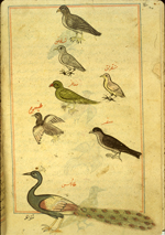 Folio 185b from Zakarīyā' ibn Muḥammad al-Qazwīnī's Ajā'ib al-makhlūqāt wa-gharā'ib al-mawjūdāt (Marvels of Things Created and Miraculous Aspects of Things Existing) featuring a peacock with six smaller birds above, including a green parrot, a shahin (a white falcon), a pigeon (shafnin), a green magpie (shiqraq), and a raptor (saqr, any bird of prey). The thin, brittle, lightly glossed, fibrous, yellow-brown paper has horizontal laid lines. The illustrations are set within frames of two red and one blue lines.