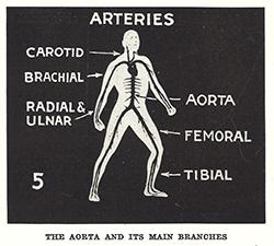 human body essays