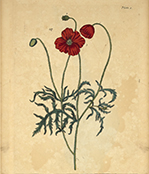 Botanical illustration of a red poppy.