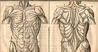 Muscular anatomy of the torso, woodcut.