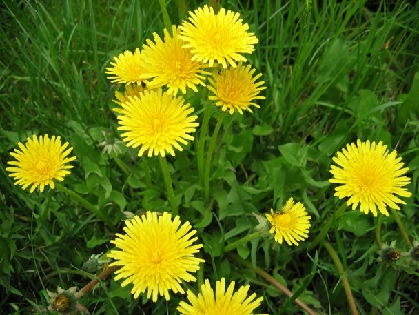 Dandelion alutiiq names qutemnaanaaruaa scientific name color image of a few bright yellow dandelion flowers surrounded by green grass mightylinksfo
