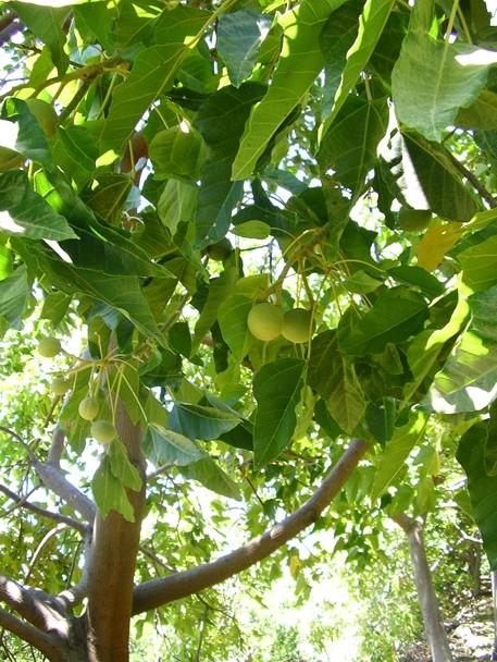 aleurites moluccana