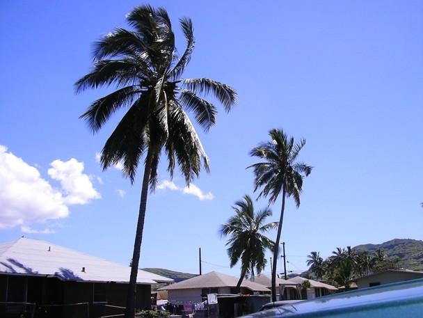 Coconut (Hawaiian name: Niu  Scientific name: Cocos nucifera