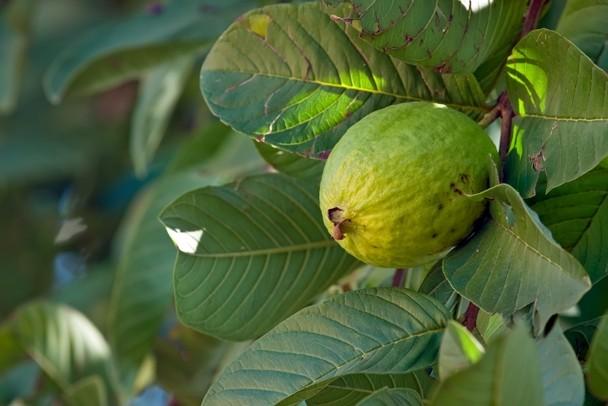 Guava Hawaiian Name Kuawa Scientific Name Psidium Guajava