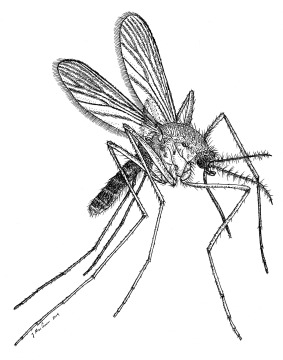 Illustration of first species of mosquito to be introduced in Hawaii, Culex quinquifasciatus